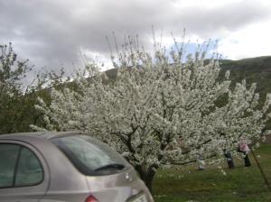 cerezo en flor desde el coche