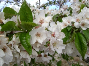 Flor del cerezo