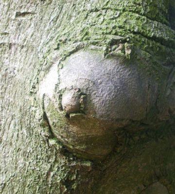 Seno en tronco, pero tronco de madera